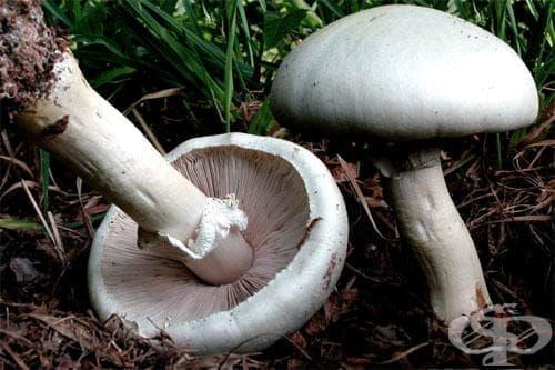 гъба печурка