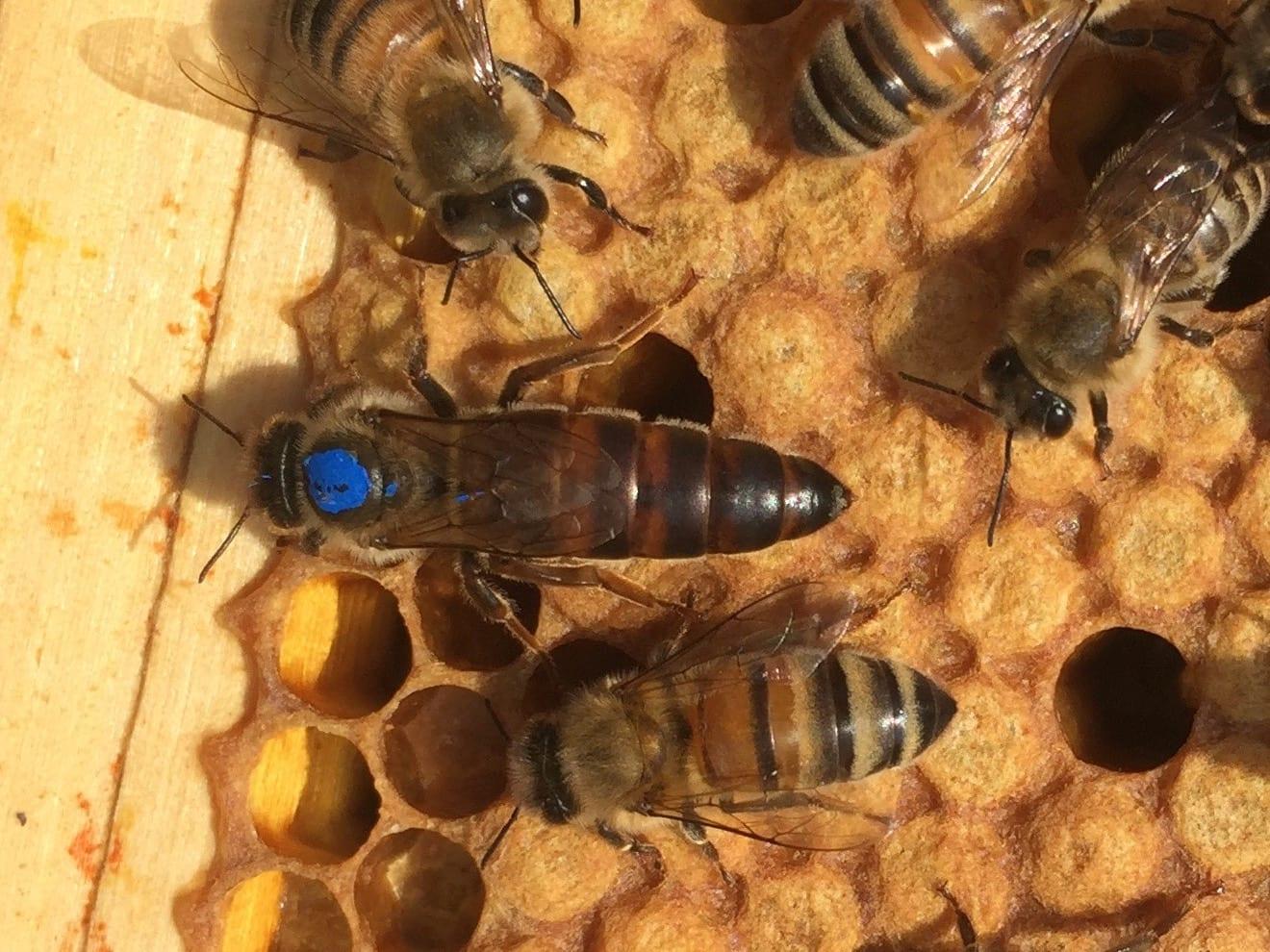 Как да създадем силни пчелни семейства с млада майка
