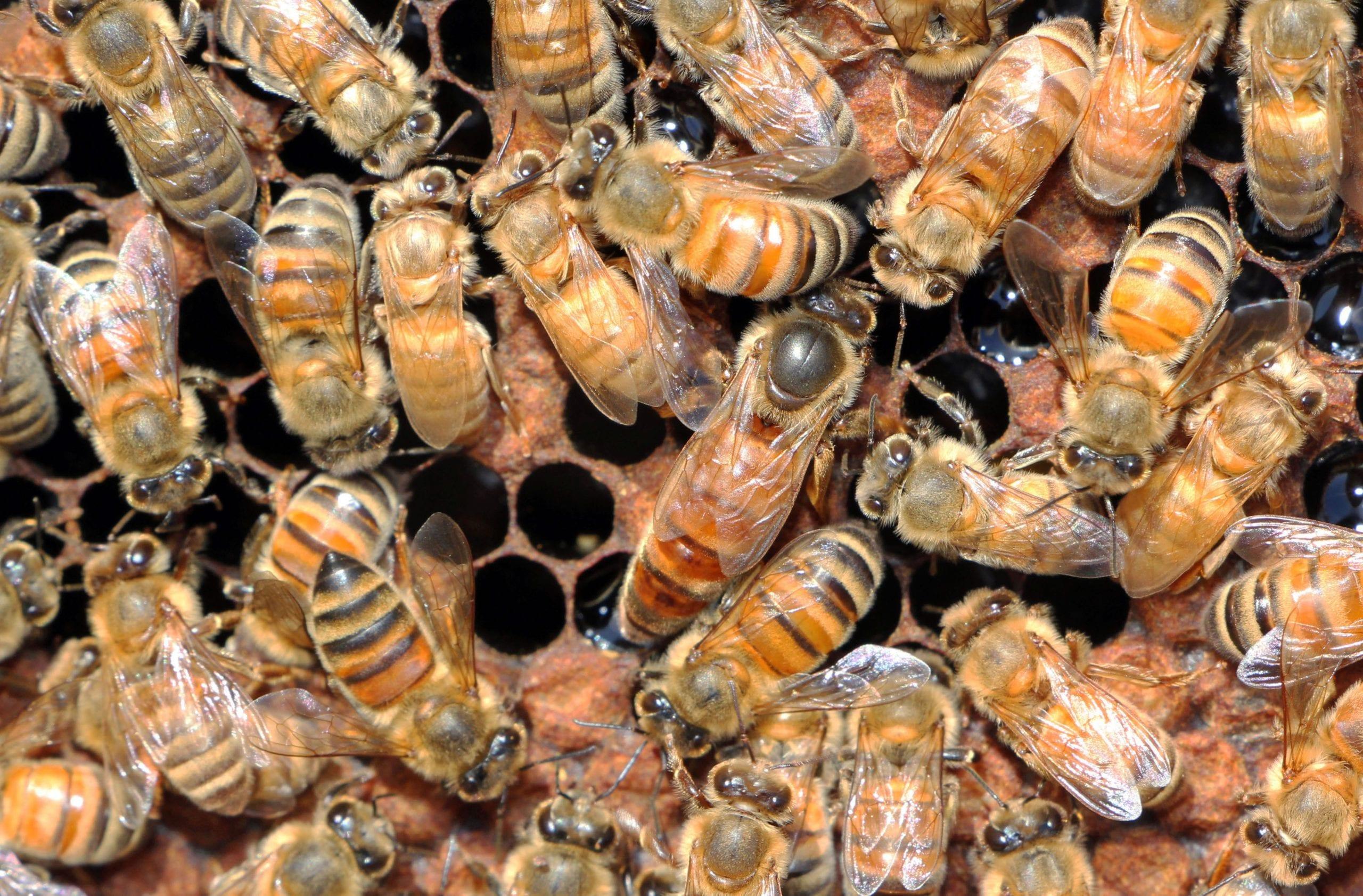 Направата на пчелни майки е важно мероприятие, което всеки пчелар трябва да умее да прави. Как да се грижим за пчелите през август