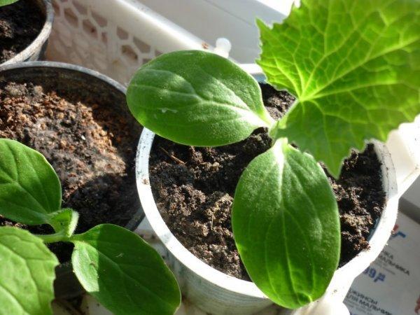 Как да засадим краставиците в градината