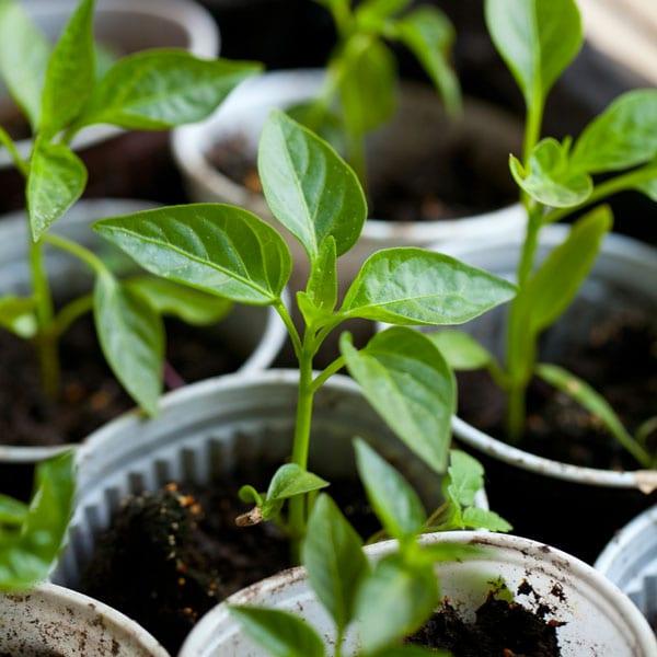 Как да засадим пипера в градината