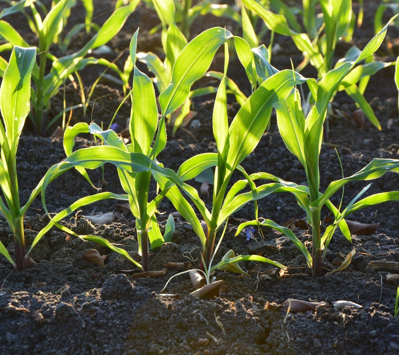 Как да засадим царевицата в градината
