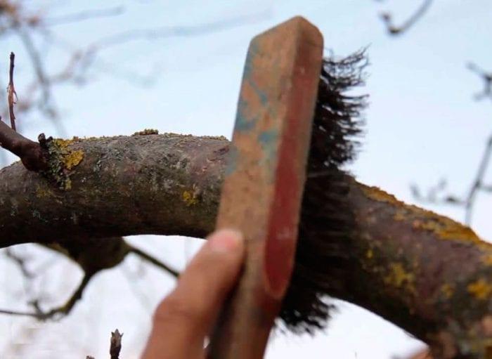 как да варосаме нашите плодни дръвчета