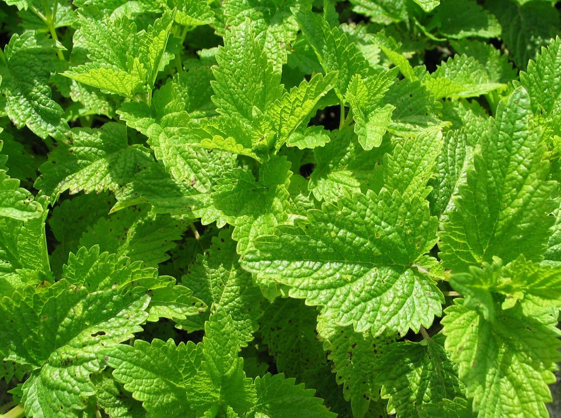 Маточината е много ароматна и полезна билка. Научете как да събираме билки от природата.