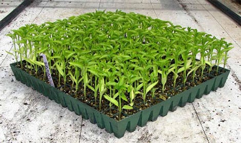 Как да направим зеленчуковия разсад?