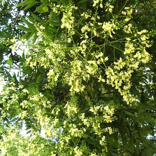 Софора - Медоносни растения дървета храсти за пчелина