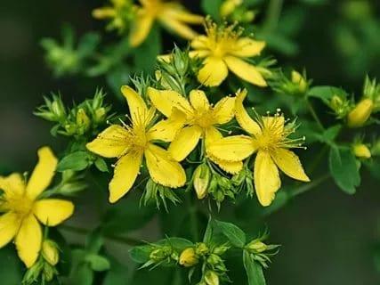 Жлът кантарион е много ценна билка. Как да събираме билки от природата?