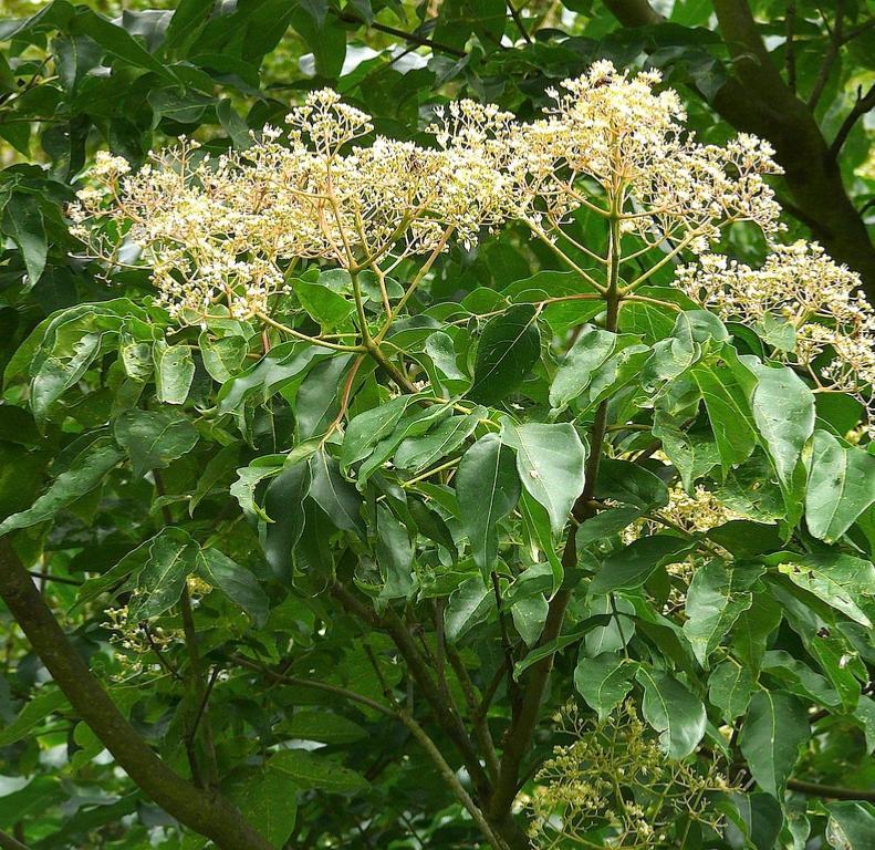 Еводия - Медоносни растения дървета храсти за пчелина