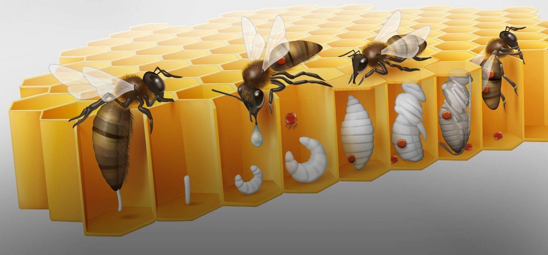 Как да се справим с вароатозата по пчелите? Как да третираме за вароатоза.