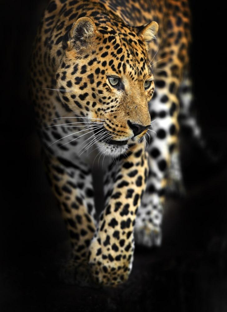 Едно от най-красивите животни в света - амурски леопард. С неговите черни петна на златистата си кожа, амурският леопард попада в нашата топ 10 класация.