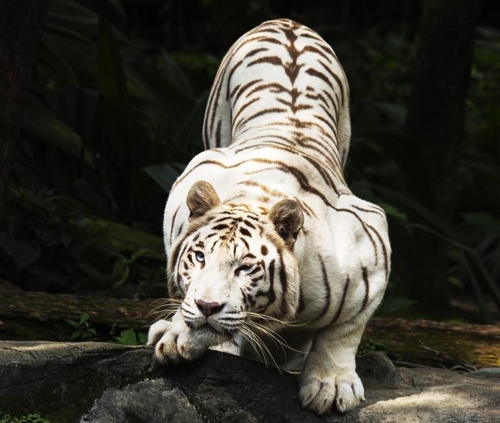 Белият тигър е едно от най-красивите животни на планетата.