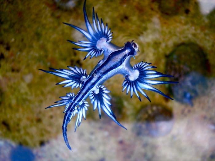 Атлантически Глаукус е странно и много красиво морско създание, срещащо се в Атлантика.