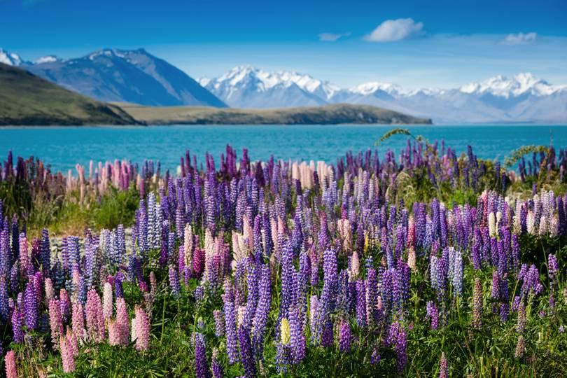 Езерото Текапо, намиращо се в  Нова Зеландия, е прекрасно изглеждащо място, което трябва да посетите.