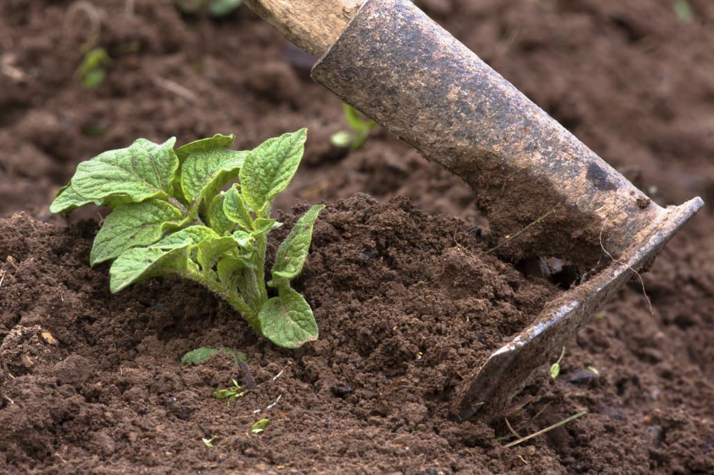 Загърлянето на картофите е важен етап при отглеждането на картофите.