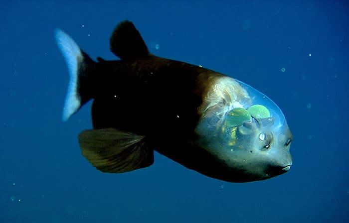 Макропинна Макростома е странно и любопитно морско създание, обитаващо морските дълбини.