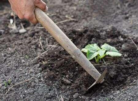 Как да окопаваме правилно краставиците за повече продукция.