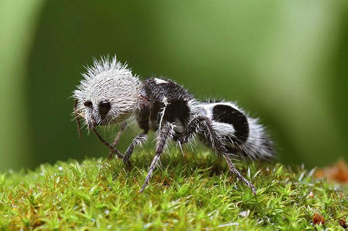 Тази мравка, приличаща на панда, е доста странно изглеждащо и красиво животинче, попадащо в нашата Топ 10 класация.