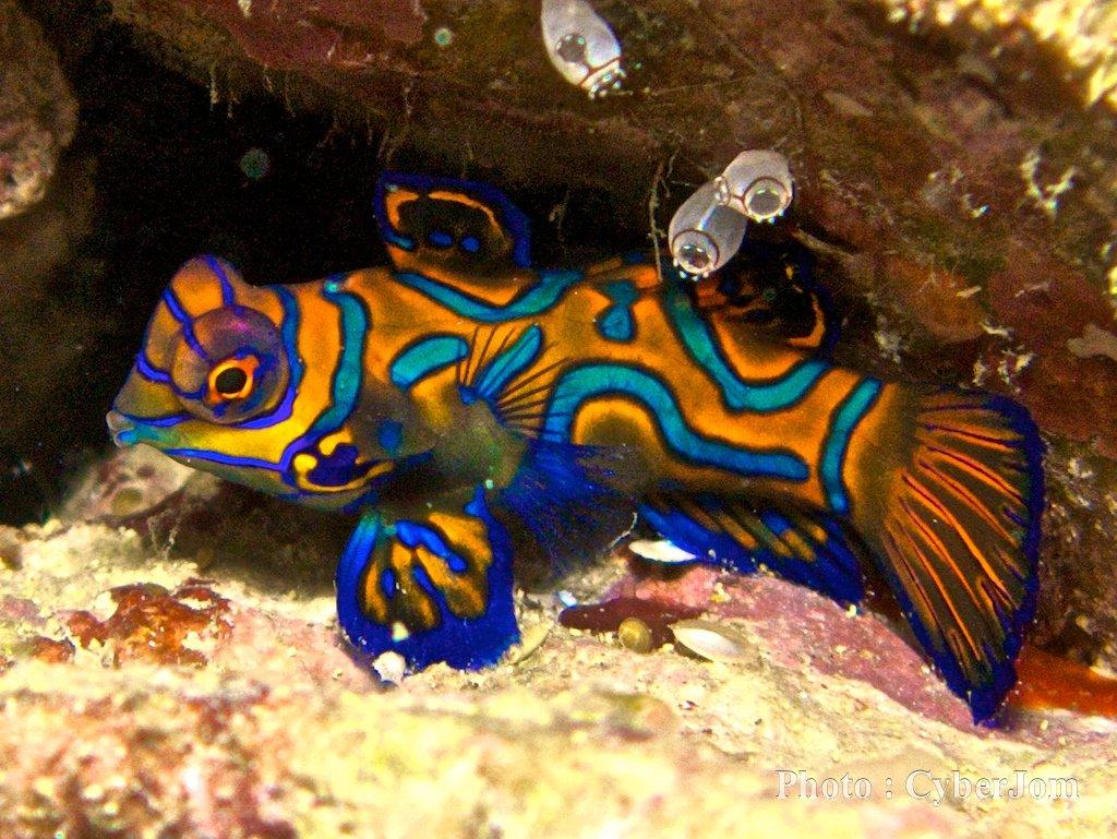 Риба Мандарин - едно от най-красивите животни в света.