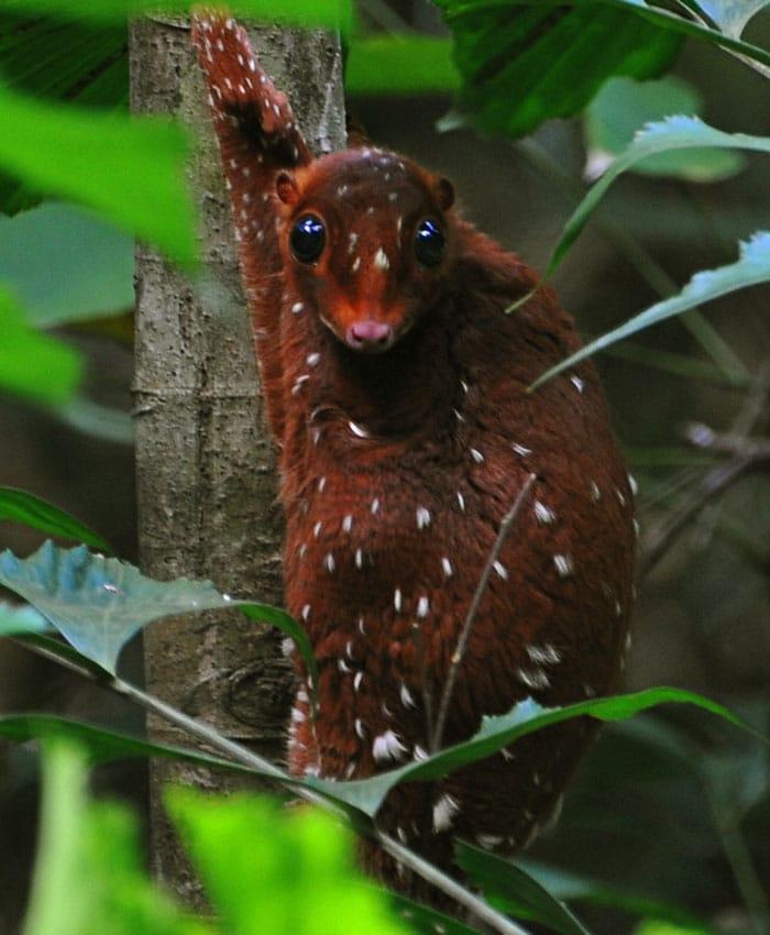 Сунда Колуго е странно и любопитно животно от Южна Азия, което попада в нашата Топ 10 класация.