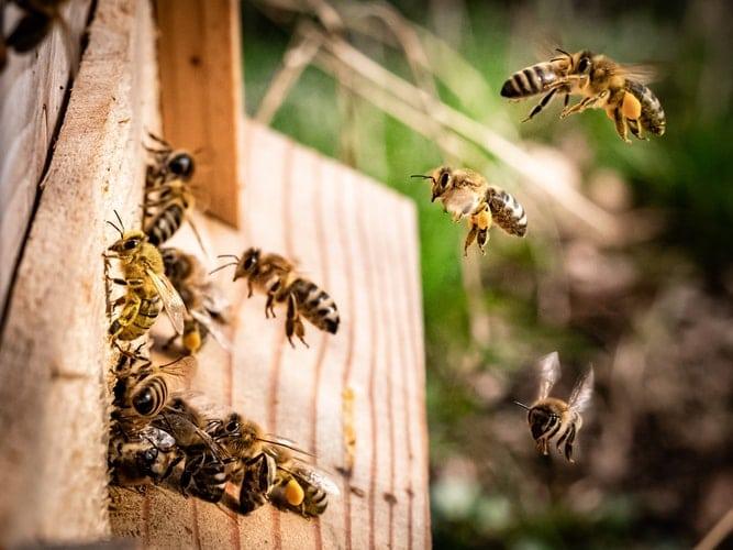 Пчелите събират прополис и с него създават антибактериална среда в кошера. Прополисът е много полезен и за човека.