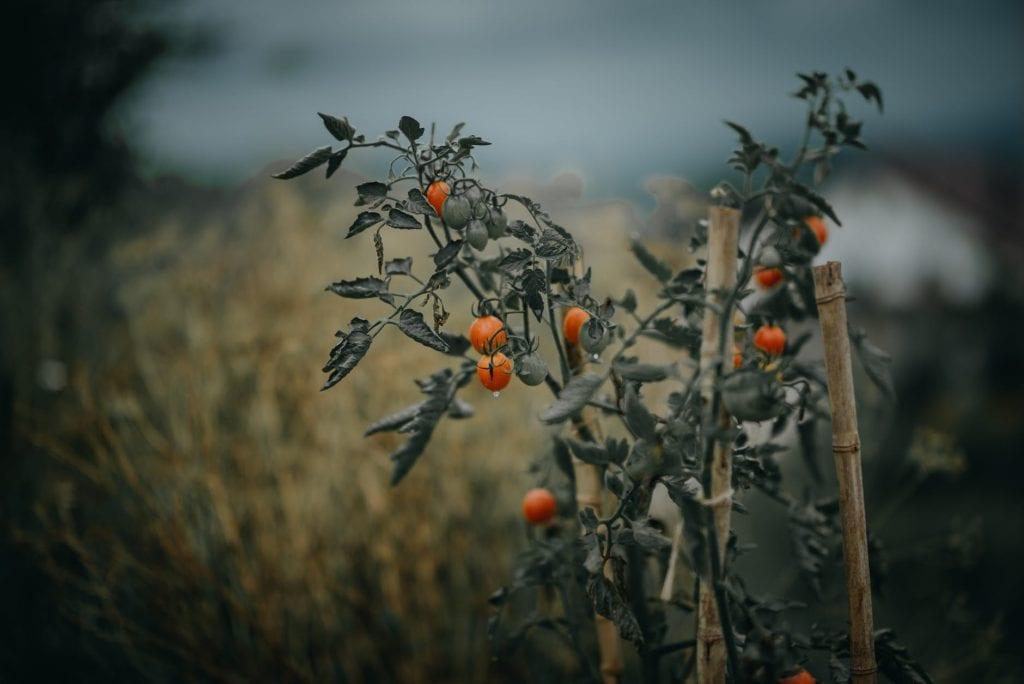 Как да поливаме доматите - те не се нуждаят от много вода и е добре да не ги поливаме често. Също така поливаме доматите само с хладка вода.