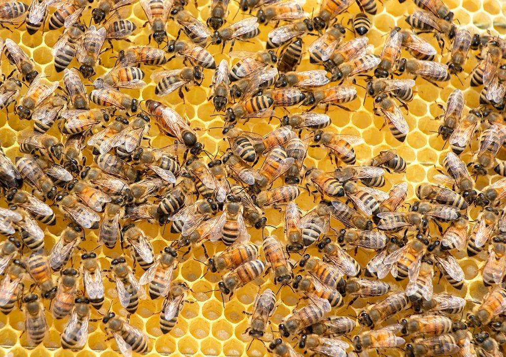 Пчелната майка е заобиколена от своята свита, която я храни с пчелно млечице.