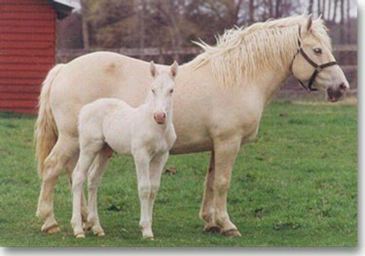 Американски кремав тежковоз най-силните коне на света