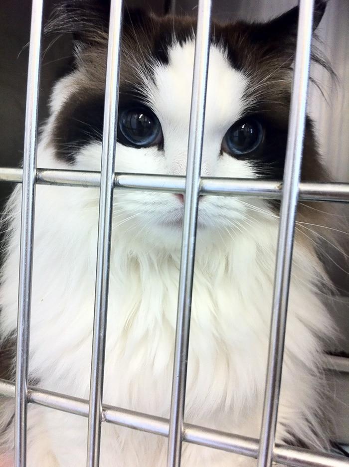 Най красивите котки на света - регдол котката Мими
