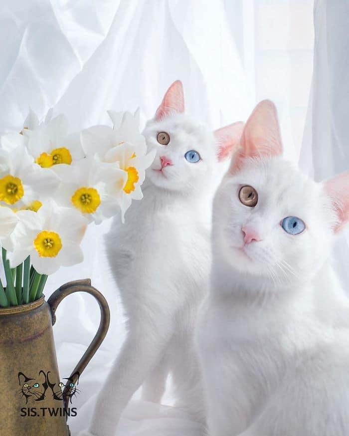 Запознайте се с Айриш и Абис - най-красивите котки близнчаки. Много красиви и гразиозни.