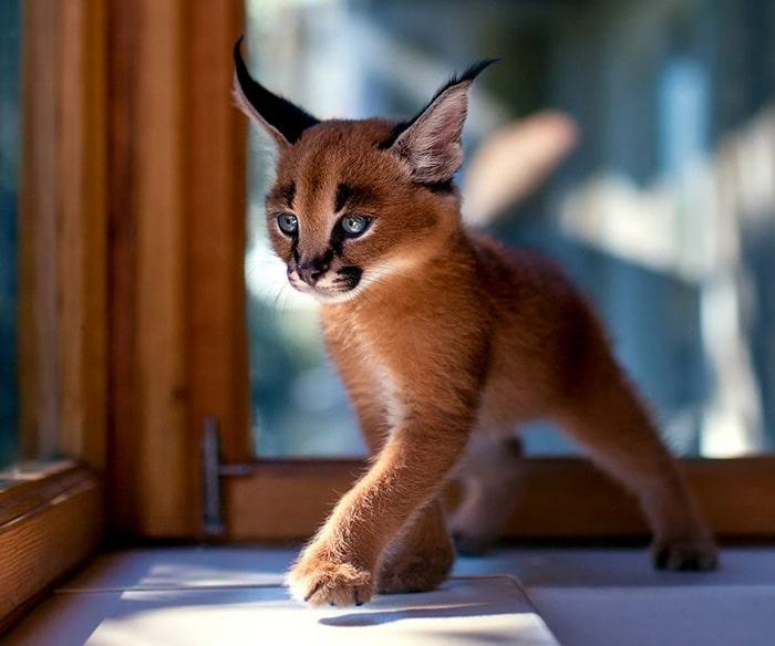 Малък каракал - изключително красива и сладка котка