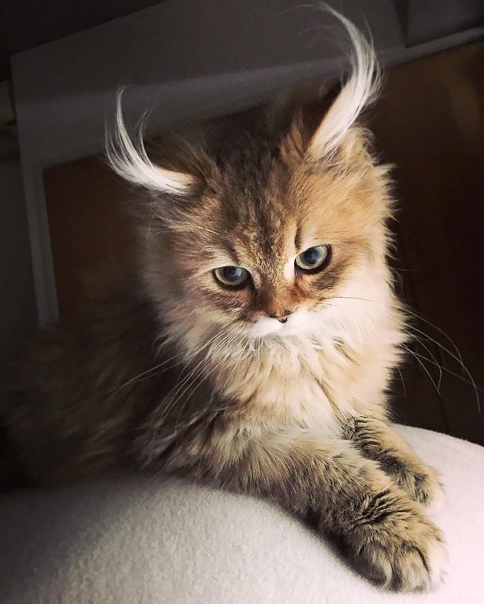 Много красива котка с рога като на антилопа.