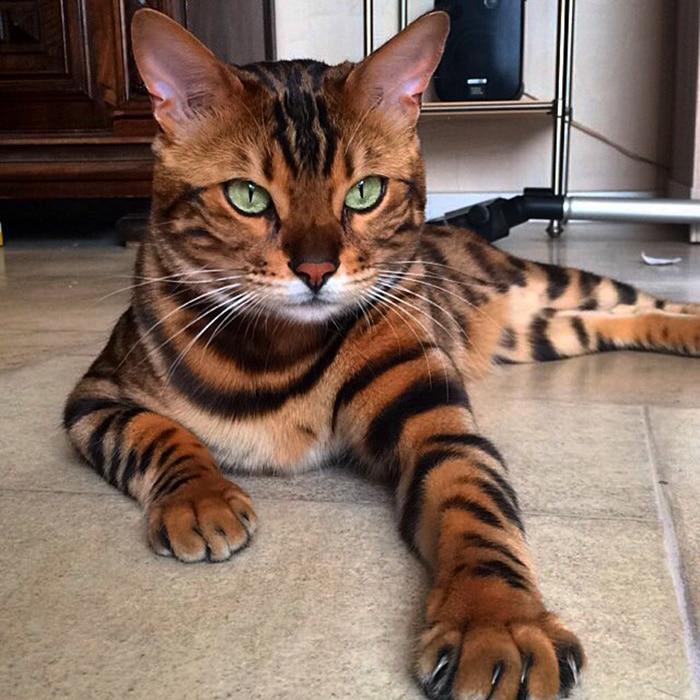 Това е Тор - най-красивата котка на света.