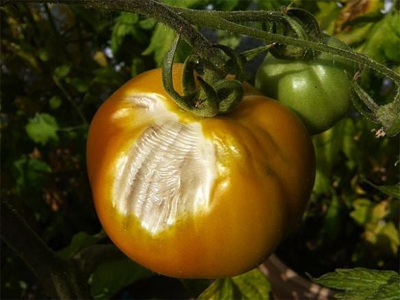 Пригор по доматите , как да опазим доматите от болести?