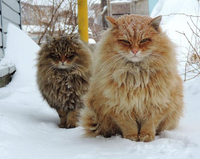 Сибирскате котка е изключително пухкава и красива.