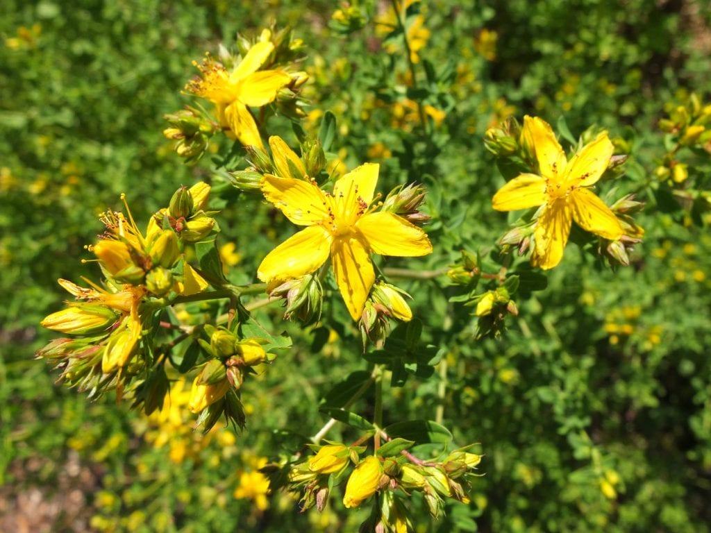 Жълт кантарион - най-добрите билки за сън