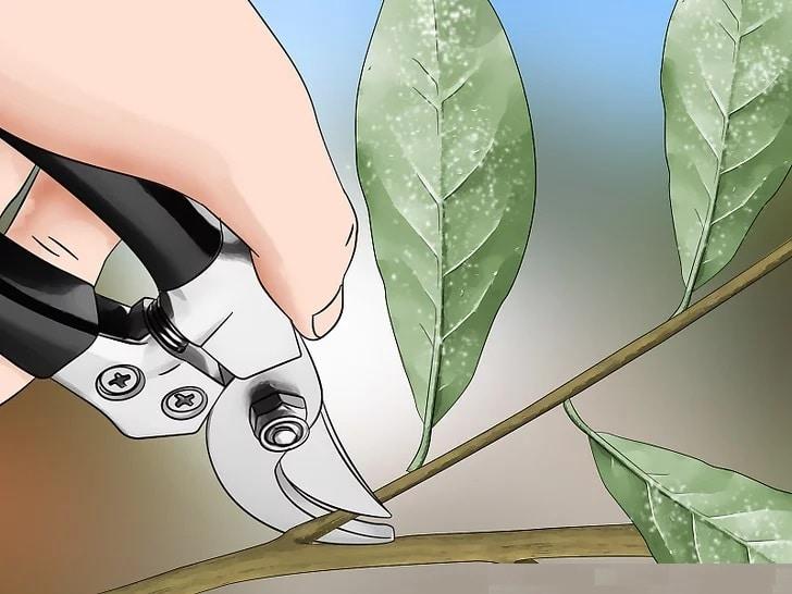 Как да премахнем белокрилките с рязане? Как да махнем белокрилката с домашен препарат?
