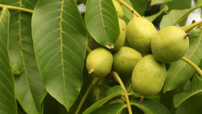 Зелени орехчета против паразити - как да изчистим паразитите от тялото