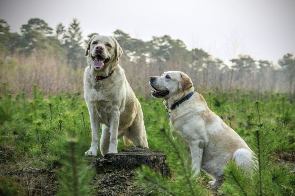 Лабрадор ретривър е истинско умно и красиво куче.