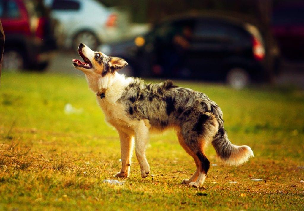 Австралийско пастирско куче - едно от най-умните кучета в света