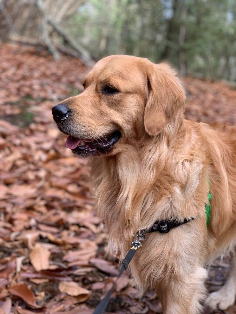 Голдън ретривър е изключително красиво и интелигентно куче.