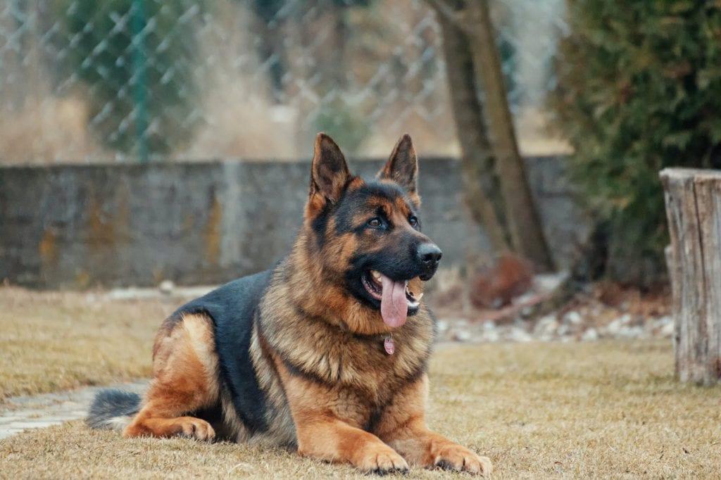 Немска овчарка е изключително интелигентна порода кучета.