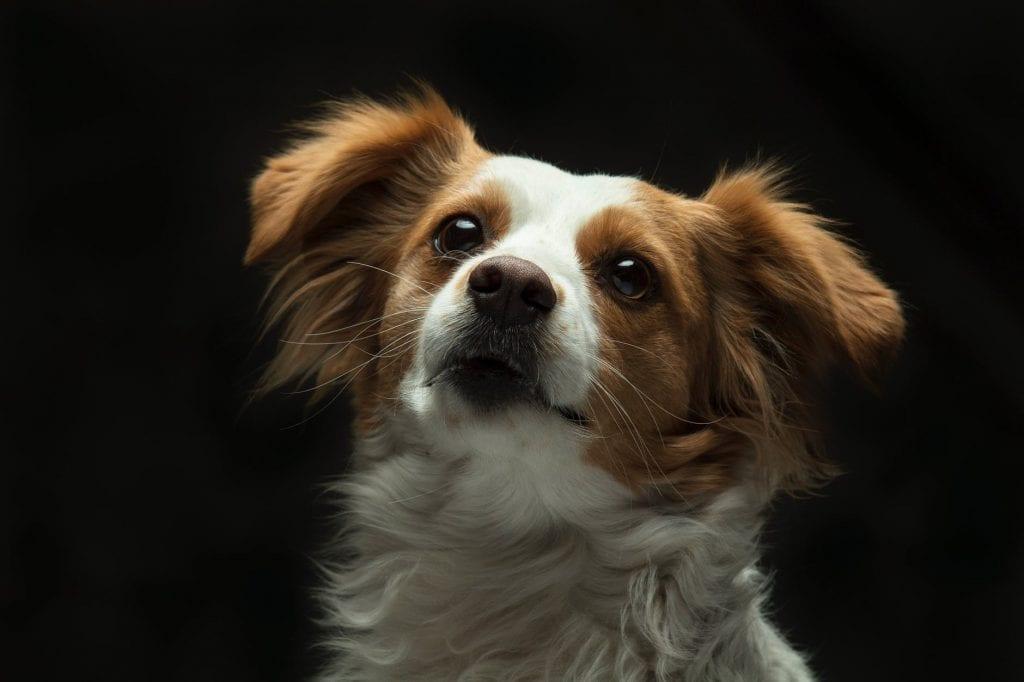 Папийон е порода кучета, която е една от най-интелигентните на света.