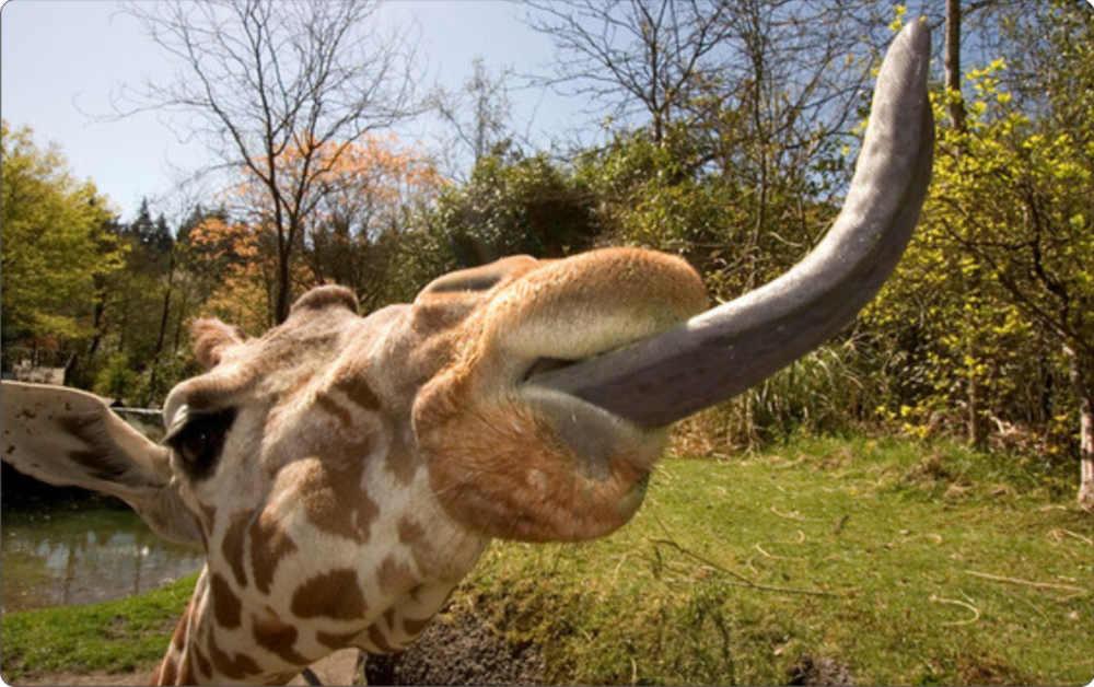Жирафът може да почисти собствените си уши с 53 сантиметровия си език - Интересни и любопитни факти от света