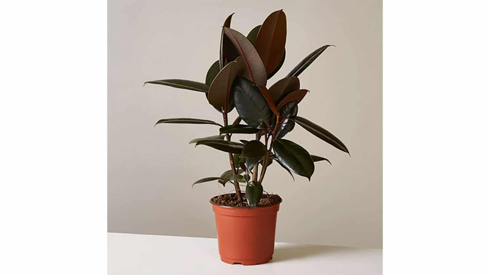 Фикус Еластика Ficus Elastica. Как да пречистим въздуха у дома със стайни растения?