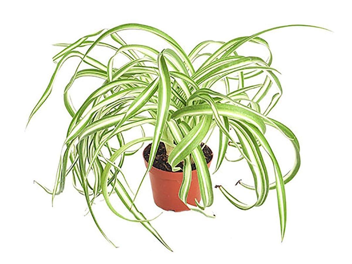 Хлорофитум (Зелена лилия) - Chlorophytum comosum