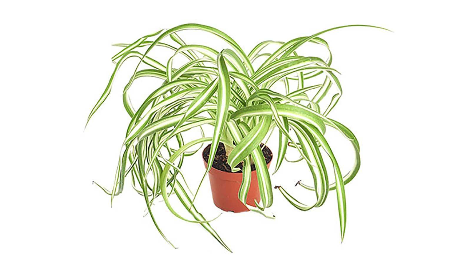 Хлорофитум (Зелена лилия) - Chlorophytum comosum. Как да пречистим въздуха у дома със стайни растения?