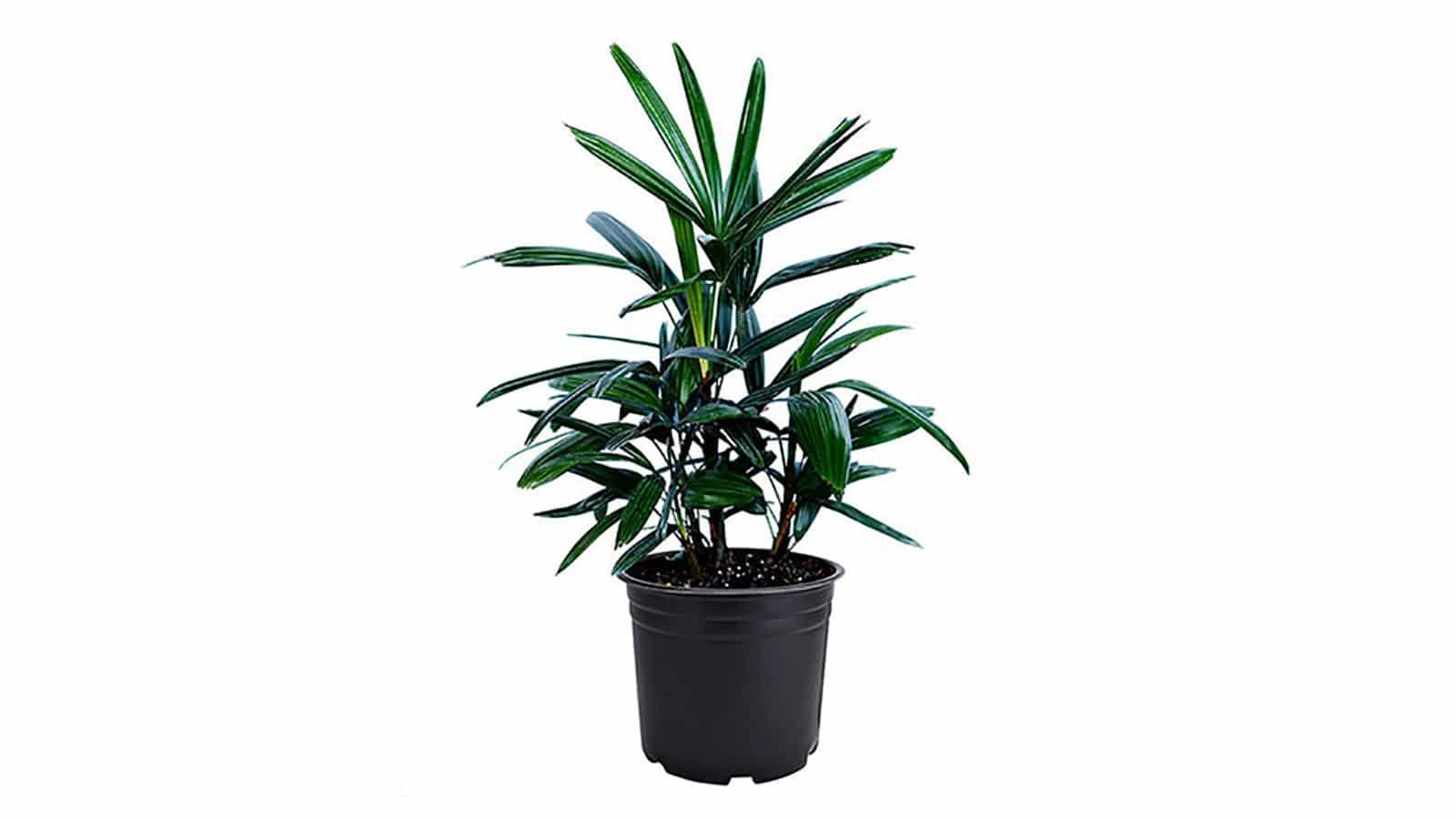 Палма Рапис (Rhapis Excelsa). Как да пречистим въздуха у дома със стайни растения?