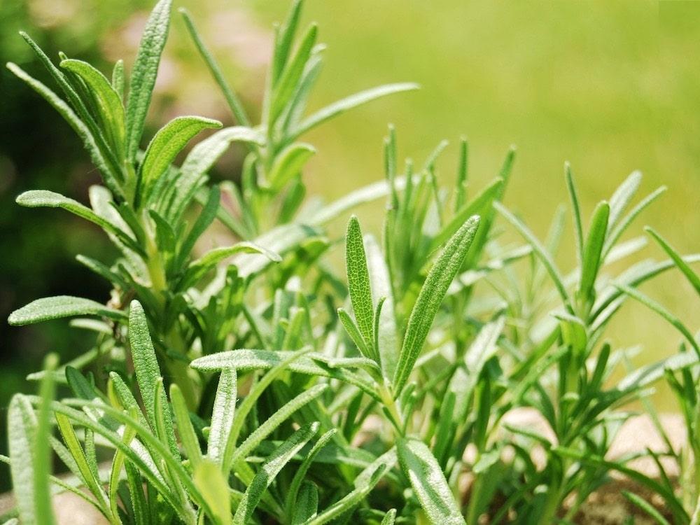 Как да прогоним и отблъснем комарите от двора с билки