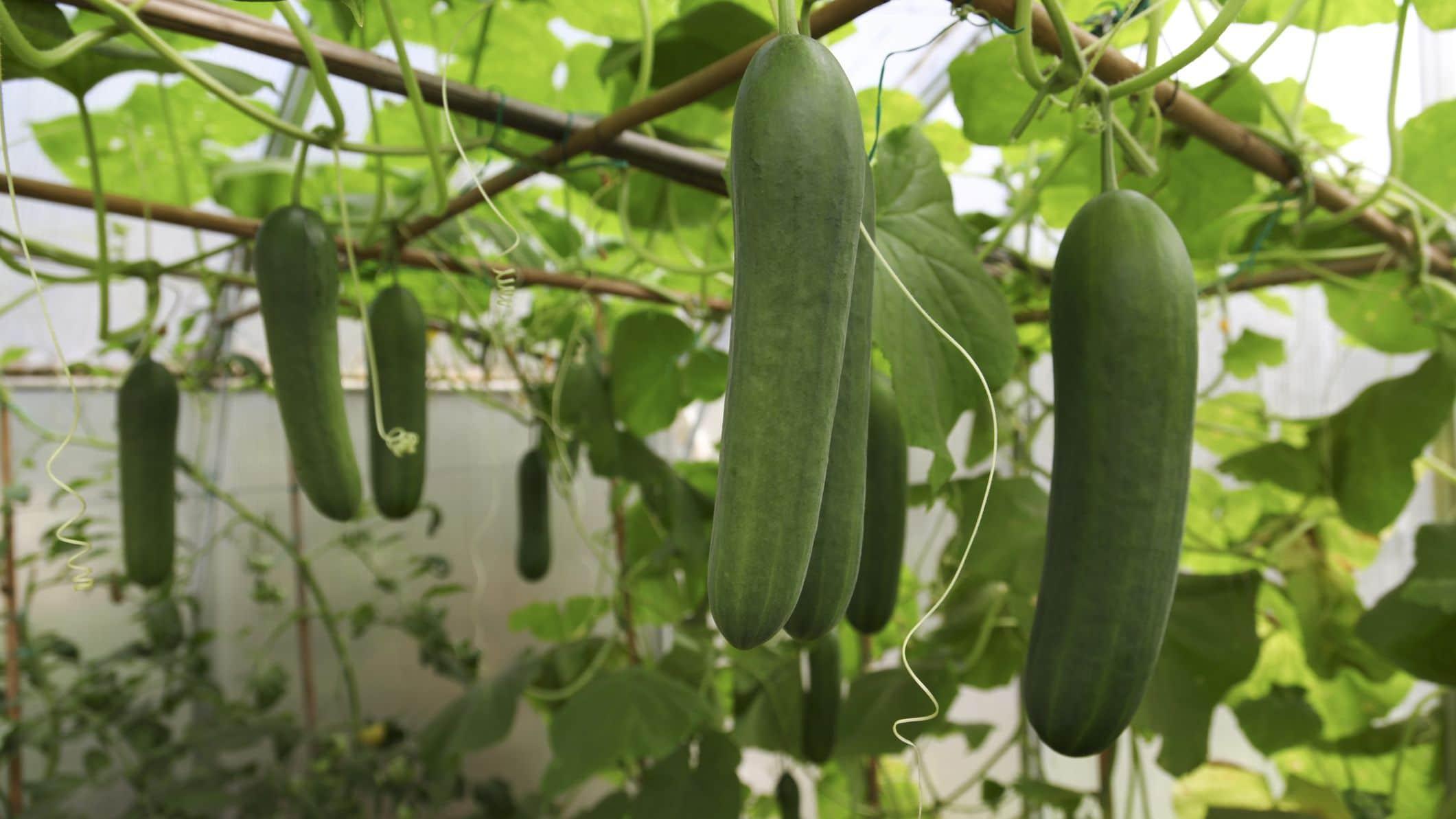 Как да подхраним краставиците