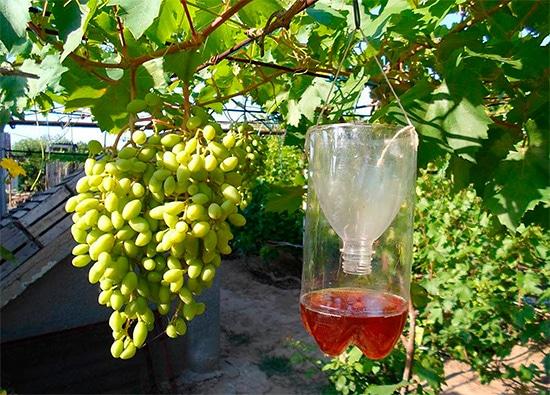 Как да предпазим гроздето от оси с помощта на капан за оси?
